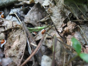 Ants gathering bloodroot seeds in Morris Park