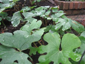 Bloodroot leaf ground cover in our yard Summer 2010