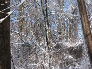 Norway maple morris park philadelphia