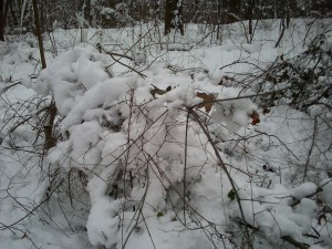 Spicebush verging on breaking under the weight