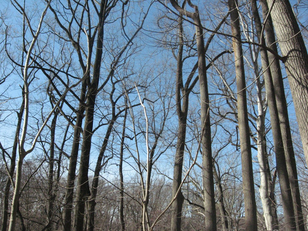 The Japanese angelica tree has a distinctive winter pose, left front in the foreground, the lighter colored tree