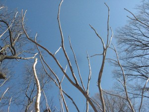 Aralia elata, looking up at an infestation of the trees in the winter sky