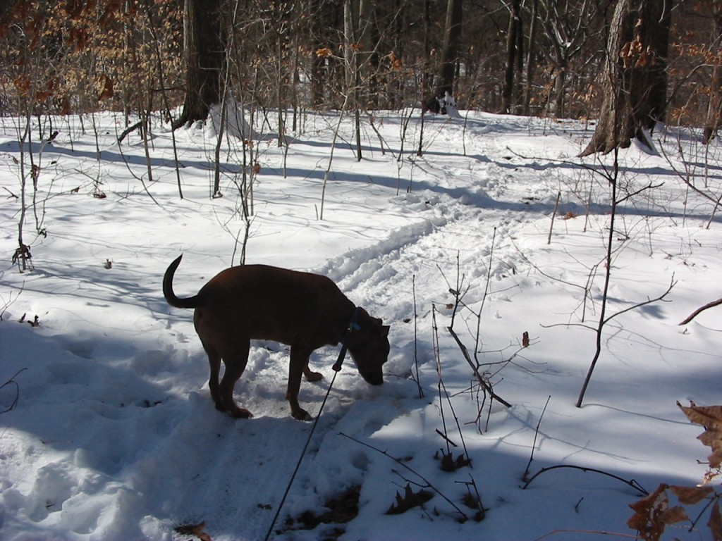 Keeba inspects trail for evidence of other dogs.  Morris Park Philadelphia
