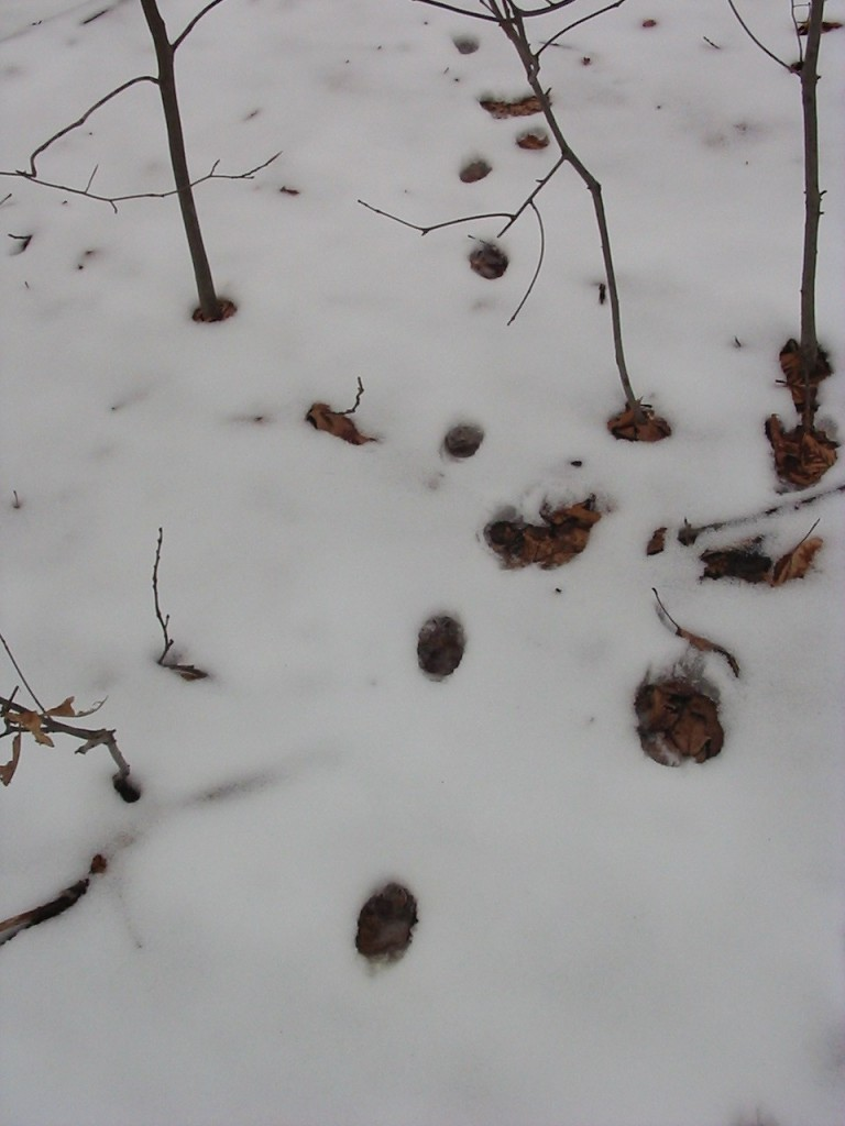 Heard shrieking in the park last night, these are most likely Fox tracks. They put their back feet in the same placement as the front in what is called 'direct register'. Morris Park Philadelphia