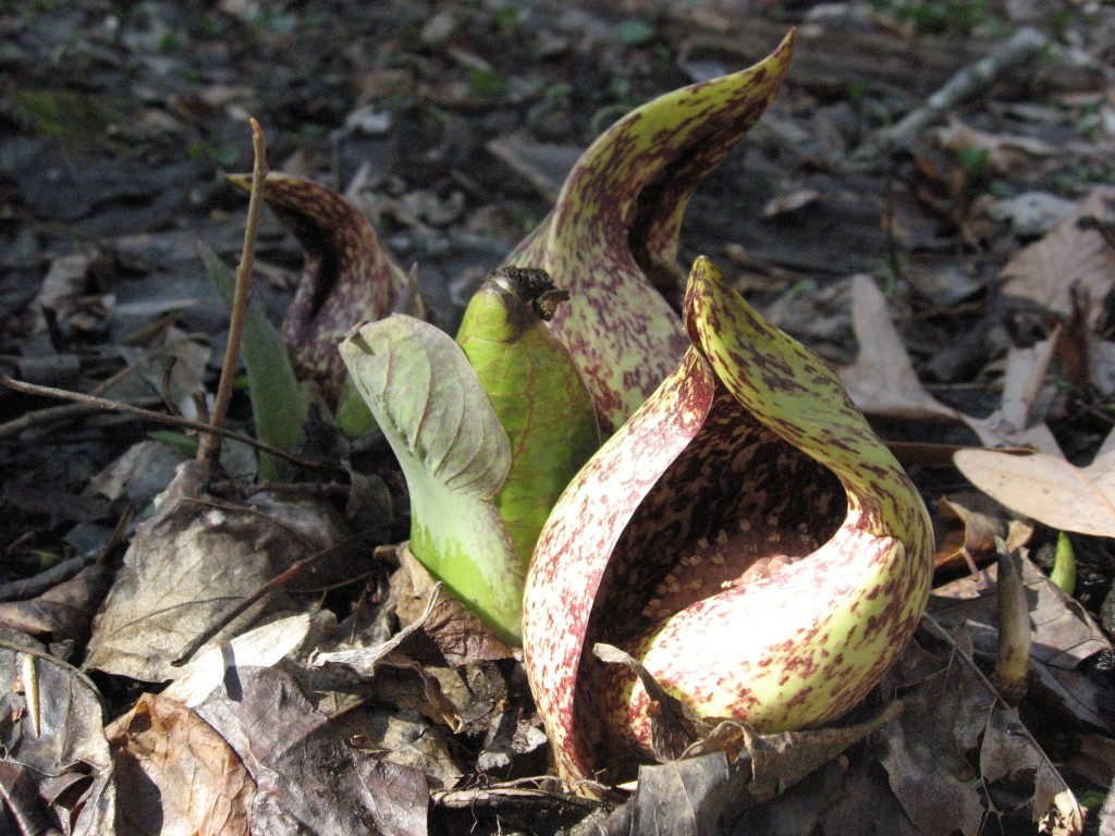 The flower is enclosed by a hood.  The spadix is enclosed by the spathe.  Morris Park, Philadelphia