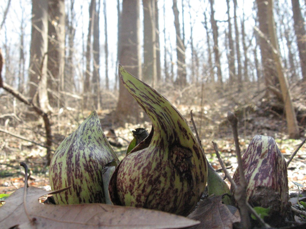 Skunk Cabbage (Symplocarpus foetidus) blooms along the East Branch of Indian Creek.  Morris Park Philadelphia