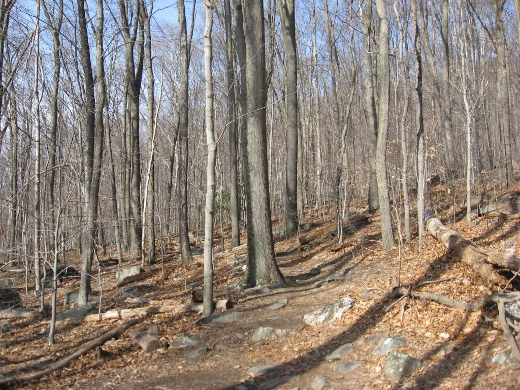 The upland Oak-Beech forest in Weverton Maryland