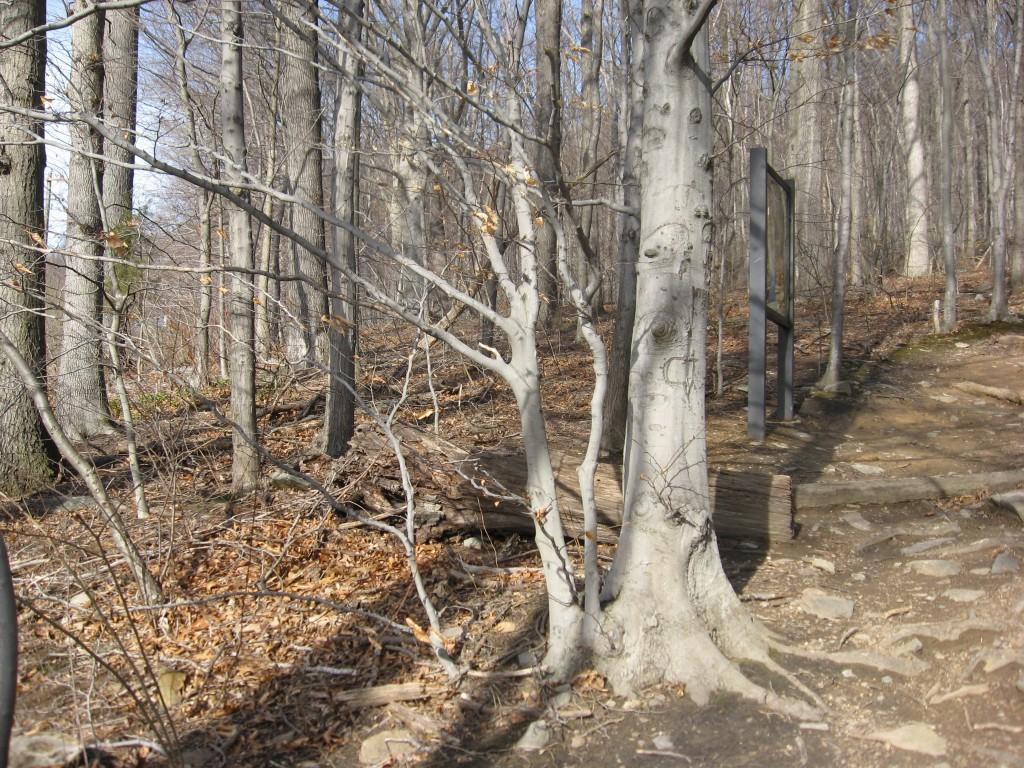 Fagus grandifolia, American Beech, Weverton Maryland