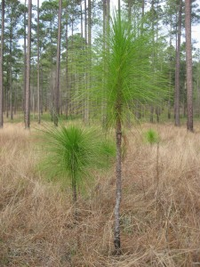 Longleaf Pine begins its ascent into the canopy, near Thomasville Georgia
