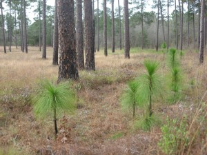 Longleaf Pine- young trees, near Thomasville Georgia