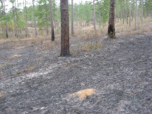 Recent prescribed burn, near Thomasville, Georgia