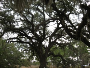 Live oak, near Thomasville Georgia
