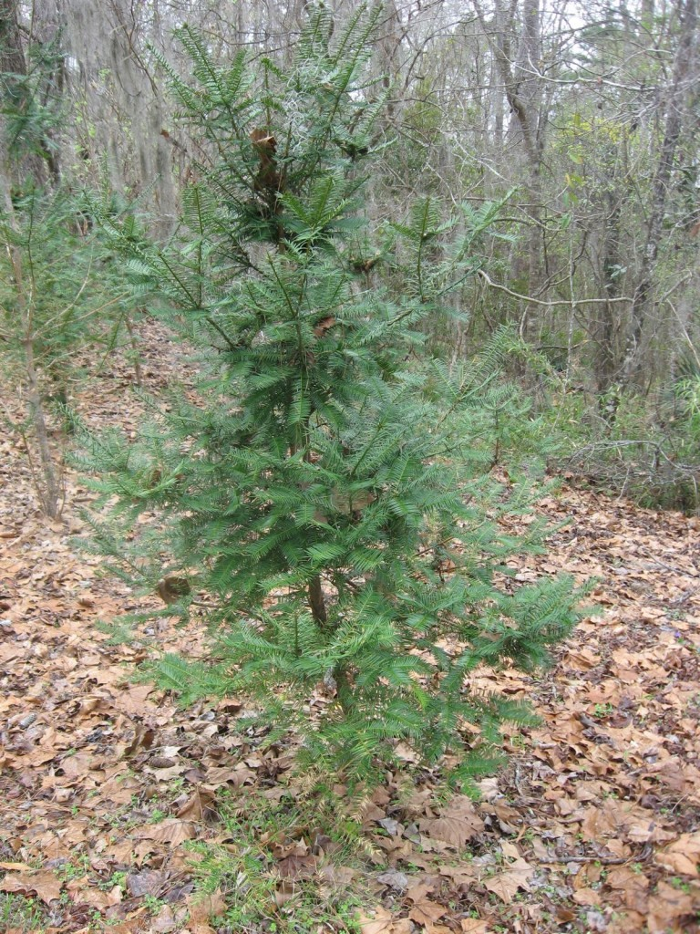Torreya taxifolia, along the east banks of the Apalachicola River, Florida