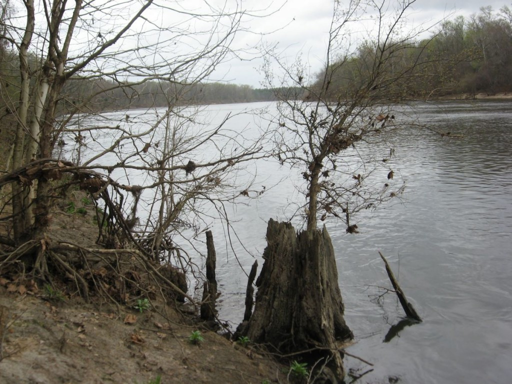 A Sycamore tree holds on, growing through its former grand trunk as the Appalachicola River rounds a wide bend on its way into the Gulf Of Mexico