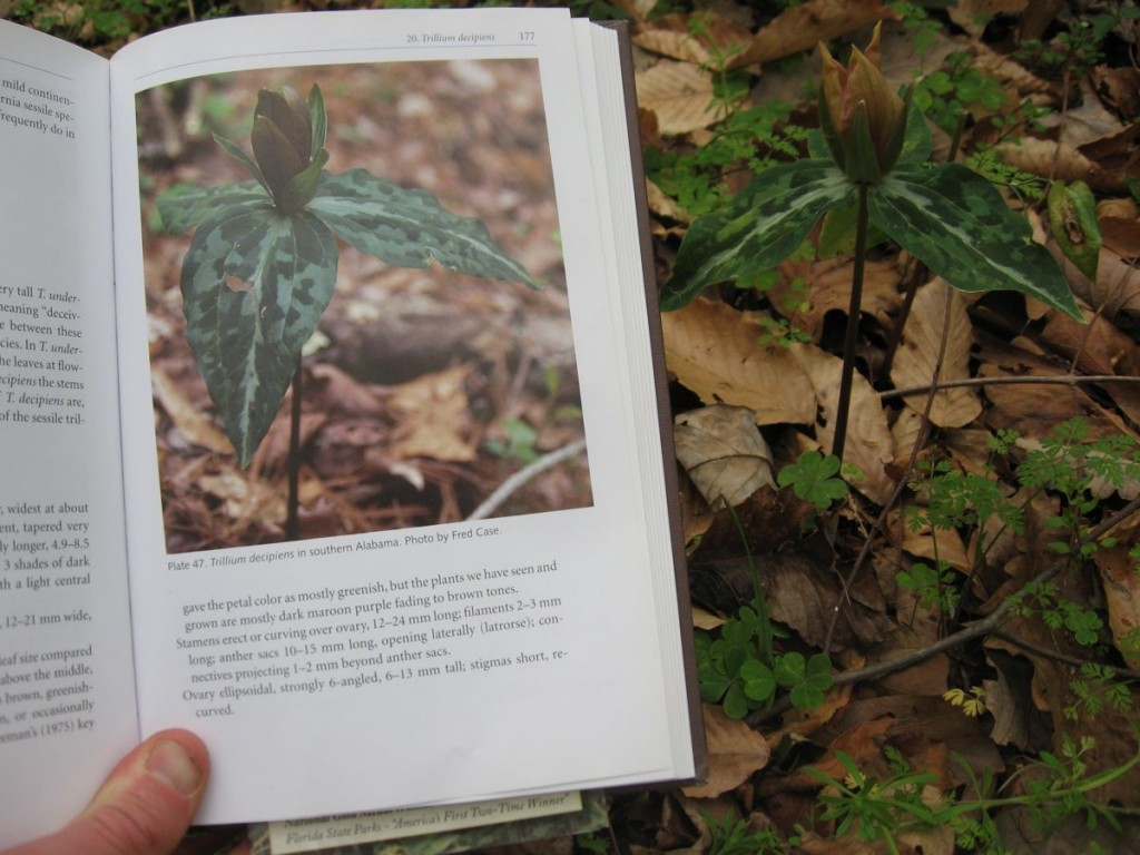 Many, many thanks to Frederick W. Case and Roberta B. Case for enlightening us about Trilliums, and showing us a world we had no idea existed. Here we discover for the first time, Trillium decipiens