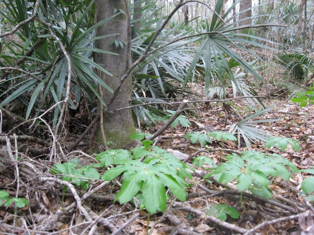 Podophyllum peltatum, Marianna, Florida.
