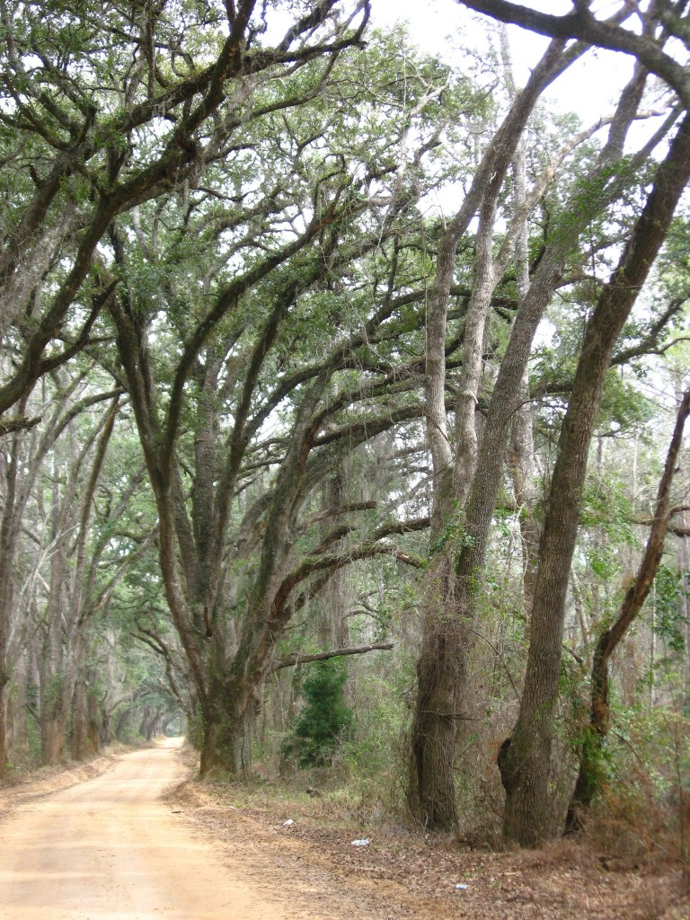 A canopied road of Live Oaks near Thomasville, Georgia