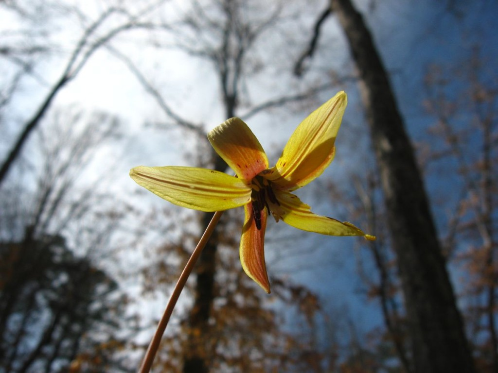 Trout Lily blooms in South Carolina's Sumter National Forest