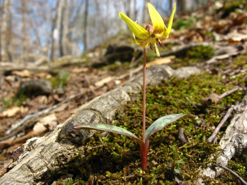 Trout Lily Sumter National Forest near Edgefield South Carolina