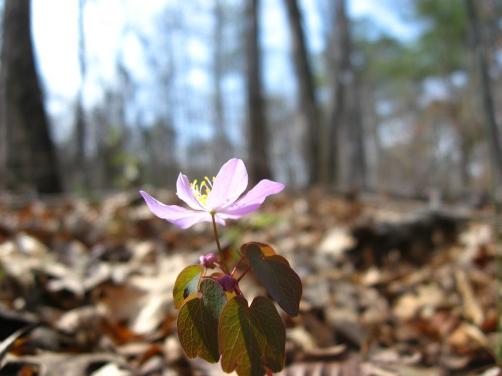 Rue-Anemone, Sumter National Forest near Edgefield South Carolina