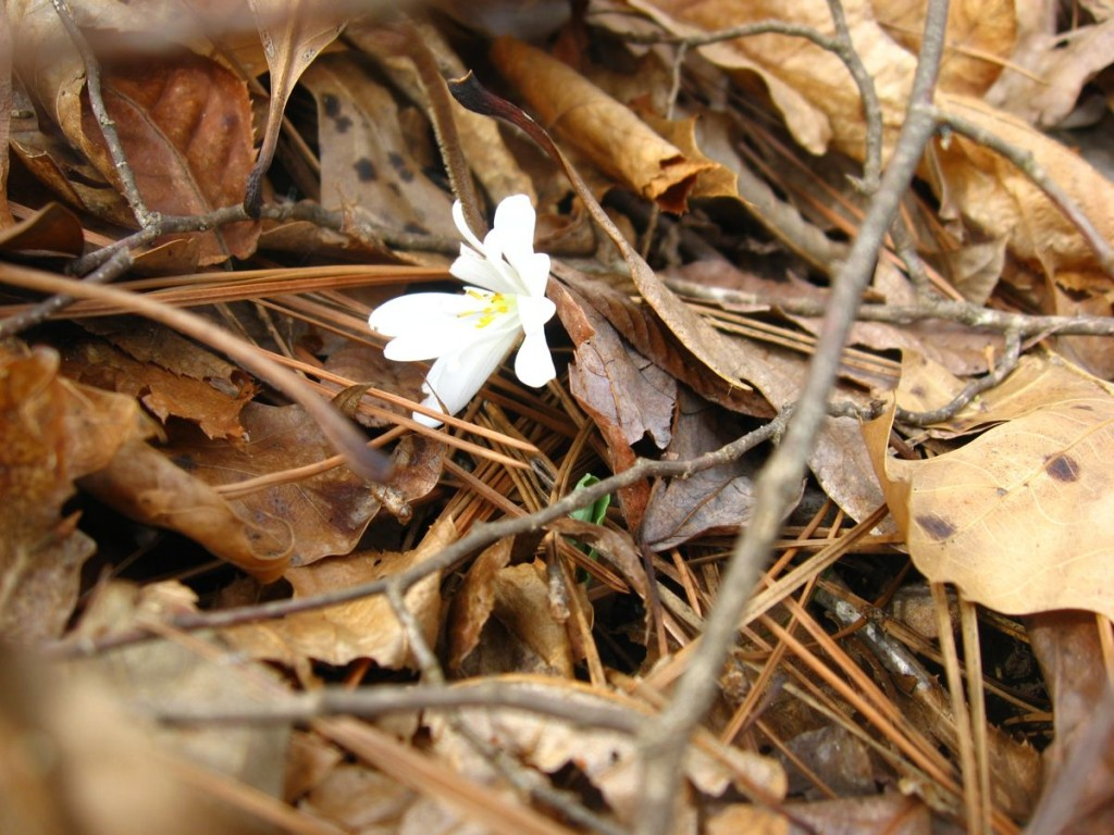 Bloodroot makes its way through the dense leaf litter - Sumter National Forest, South Carolina