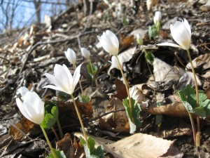 Sanguinaria canadensis, blooming Bloodroot in Pennypack Park, march 20th, 2011