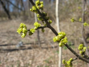 Spicebush in bloom, Bocce Woods, Cobbs Creek Park, West Philadelphia