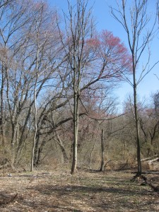Red Maple, Bocce Woods, Cobbs Creek Park, West Philadelphia