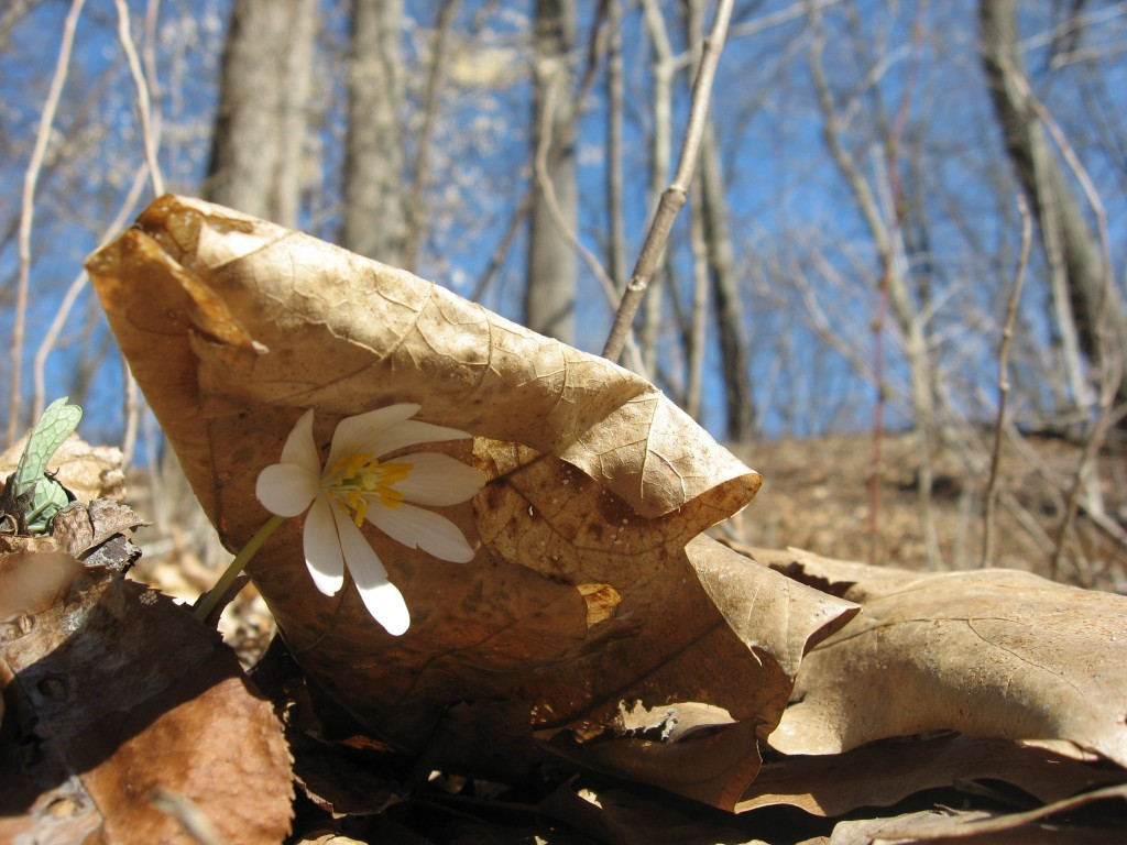 Bloodroot flower blooms under protection of the leaf litter.  Bocce Woods, Cobbs Creeek Park, West Philadelphia