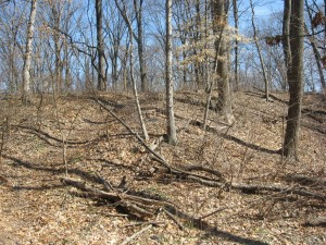 Bloodroot grows in this high quality woods, Bocce Woods, Cobbs Creek Park, West Philadelphia