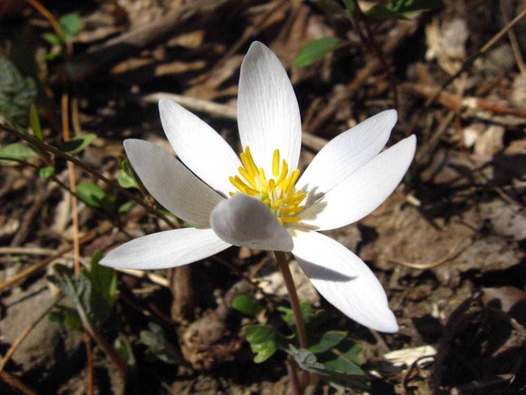 Bloodroot blooms in Morris Park, Philadelphia pa