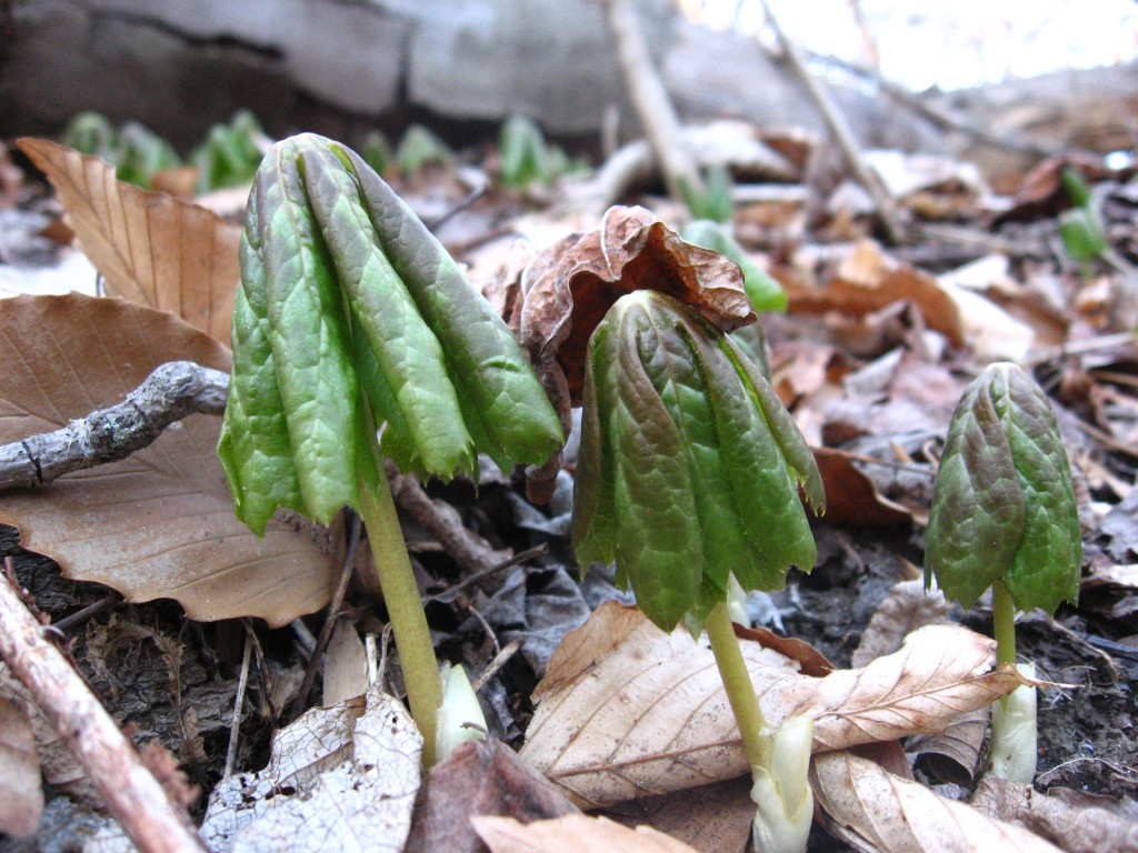 Mayapples emerge from the earth, West Fairmount Park, Philadelphia Pa