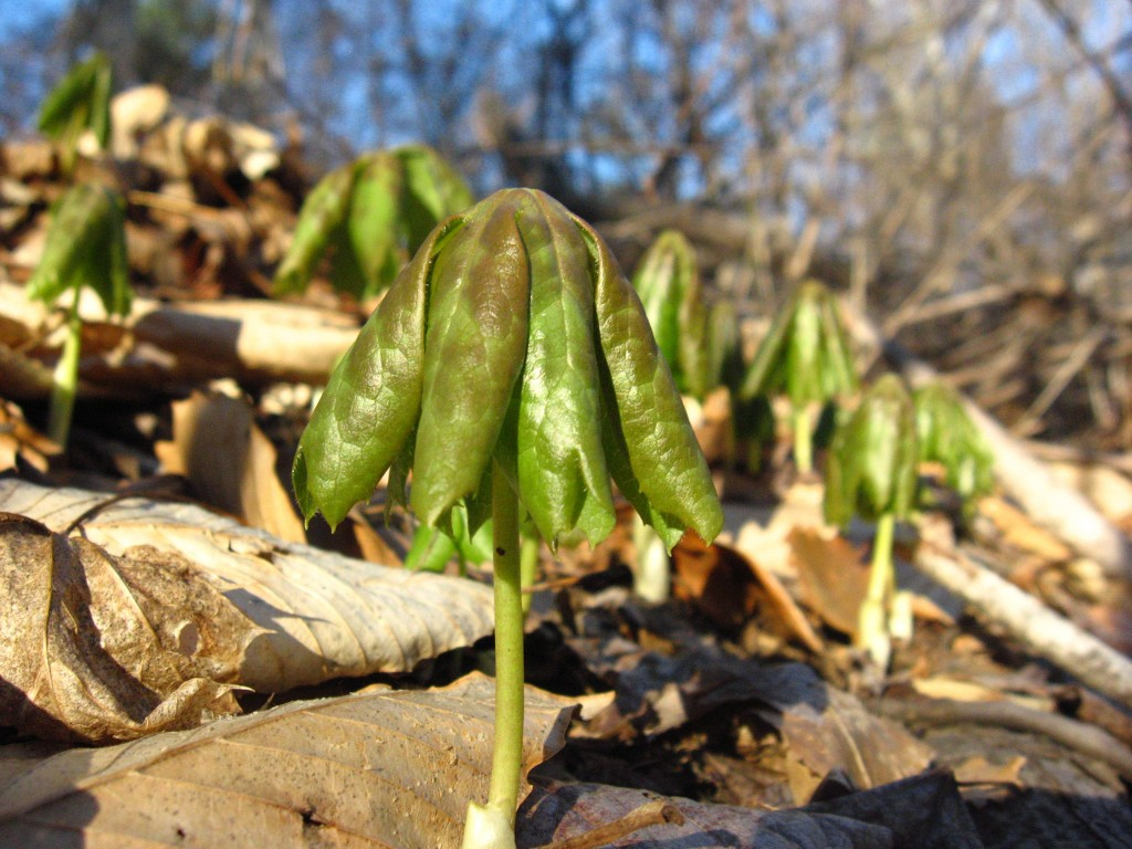 Mayapples emerge from the earth, West Fairmount Park, Philadelphia