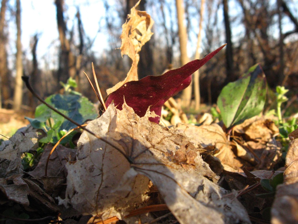 Cranefly orchid, the bottom of the overwintering leaf, West Fairmount Park, Philadelphia