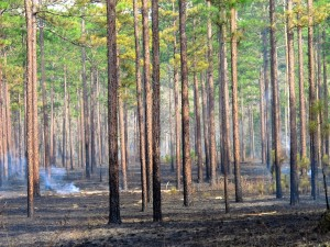 T-ville-pine-forest-typical-prescribed-burn, the 'after' photo, courtesy of Mark Daniel