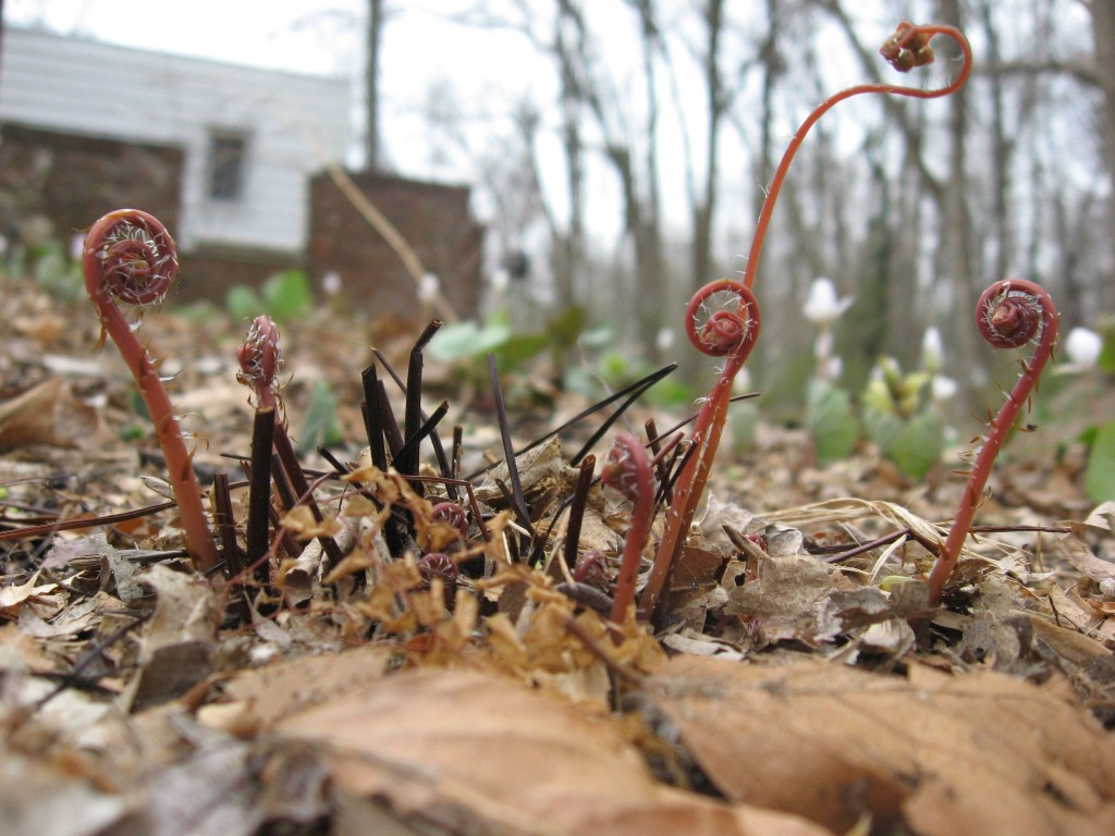 Maidenhair fern, Garden of the Sanguine Root, Morris Park Road, Philadelphia Pa