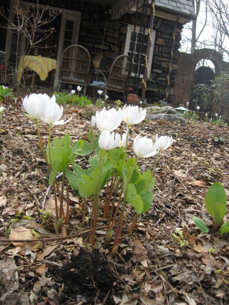 Bloodroot, Garden of the Sanguine Root, Morris Park Road, Philadelphia Pa