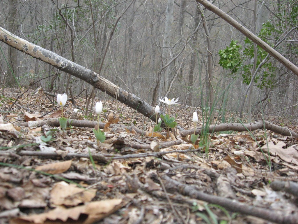 Bloodroot, Wissahickon Valley Park, Philadelphia Pennsylvania