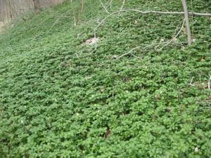 pachysandra terminalus, Wissahickon Valley Park, Philadelphia Pennsylvania