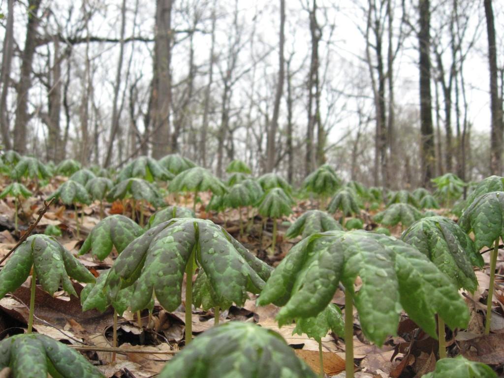 Mayapples growing in the wild, Morris Park, Philadelphia Pennsylvania