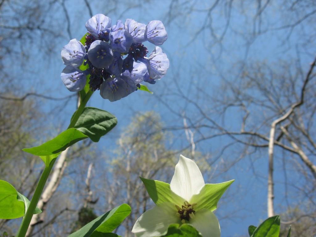 Shenks Ferry Wildflower Preserve: A rich ravine habitat on the lower Susquehanna River Valley, Pennsylvania