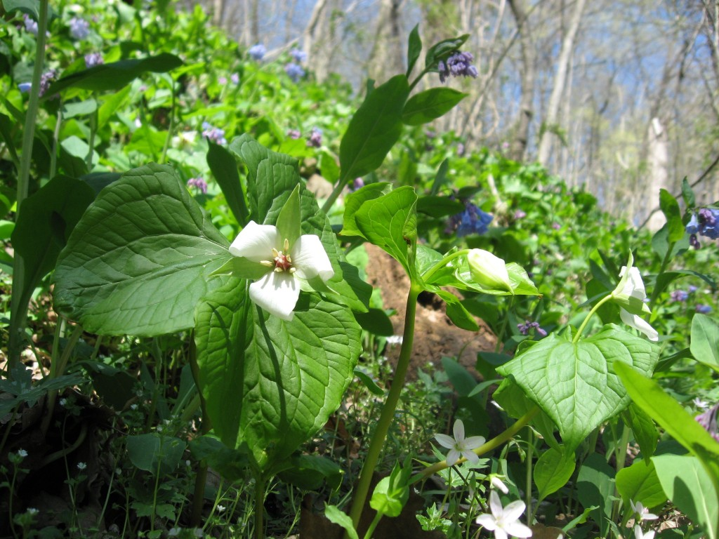 Trillium erectum v. album with Mertensia virginica, Shenks Ferry Wildflower Preserve: A rich ravine habitat on the lower Susquehanna River Valley, Pennsylvania