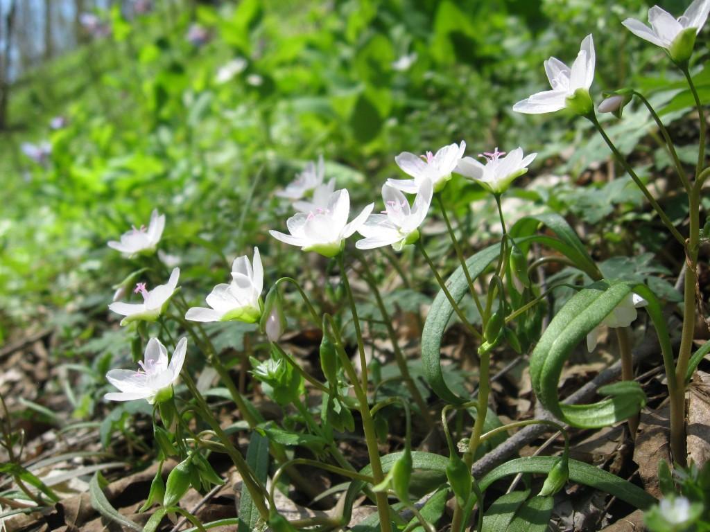 Spring Beauty (Claytonia virginica), Shenks Ferry Wildflower Preserve: A rich ravine habitat on the lower Susquehanna River Valley, Pennsylvania
