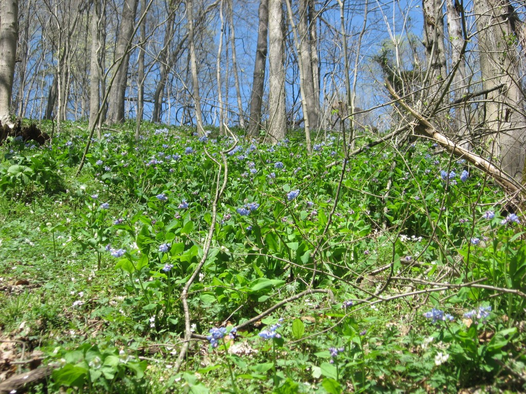 Isabelle and Bluebells, Shenks Ferry wildflower preserve. Lower Susquehanna River Valley, Pennsylvania