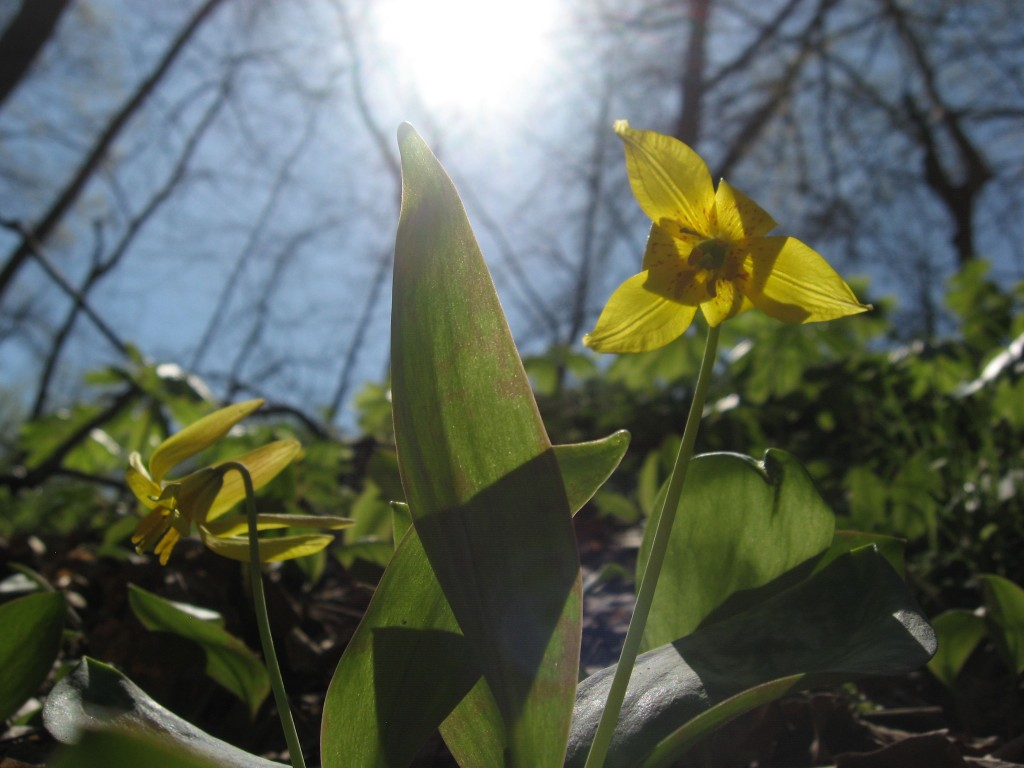 Trout Lily, Shenks Ferry wildflower preserve. Lower Susquehanna River Valley, Pennsylvania
