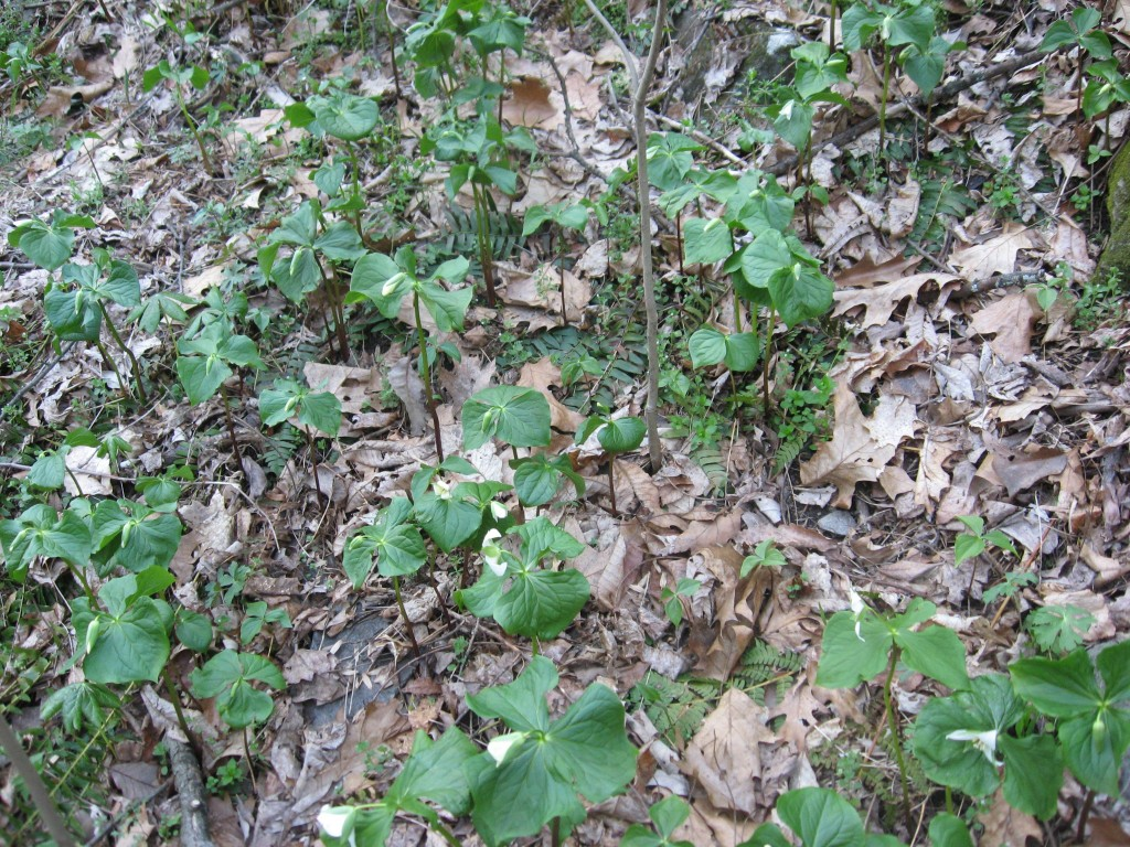 Trillium Flexipes, Tucquan Glen Nature Preserve, Lancaster County, Pennsylvania
