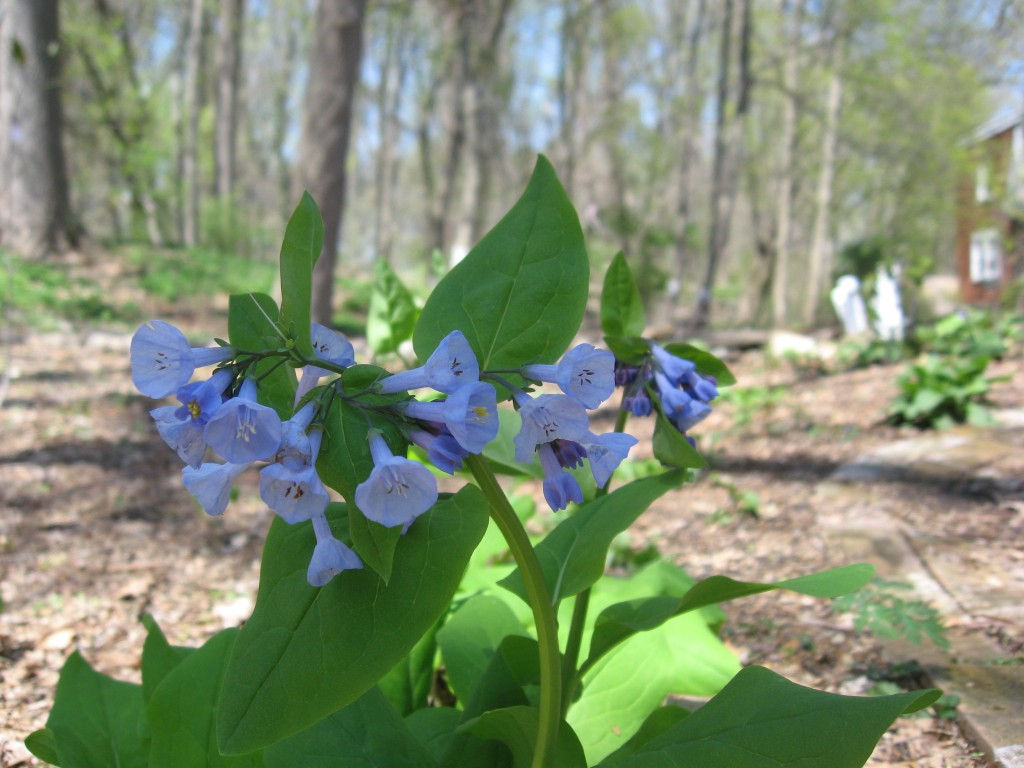 Mertensia virginica The garden of the Sanguine Root. Morris Park Road, Philadelphia