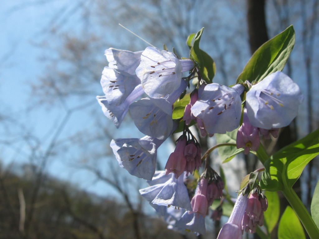 Bluebells in flower along the Schuylkill River in Valley Forge Park, Pennsylvania