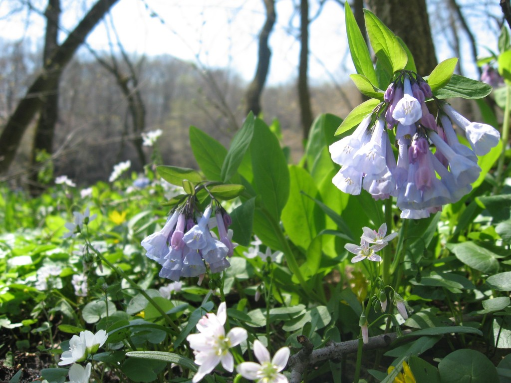 Mertensia virginica in flower along the Schuylkill River in Valley Forge Park, Pennsylvania