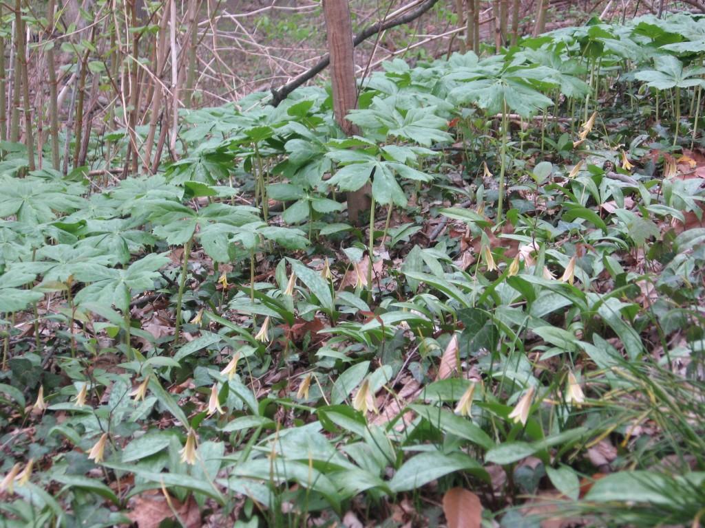 Trout lily, Sweetbriar Vale, West Fairmount Park-Centennial District, Philadelphia, Pennsylvania